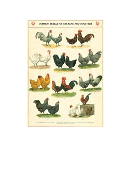 Gift wrap or poster - Chickens