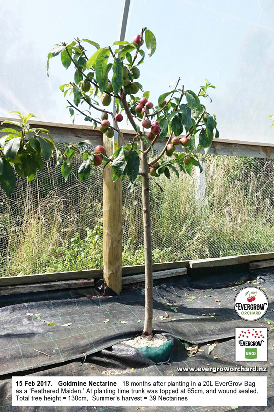 Goldmine Nectarine thrives in an EverGrow Bag and crops a year early