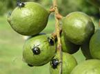 Green Vegetable Bugs