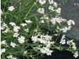 Gypsophila repens Filou White