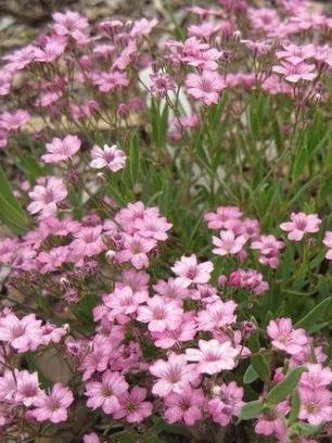 Gypsophila repens Rosea