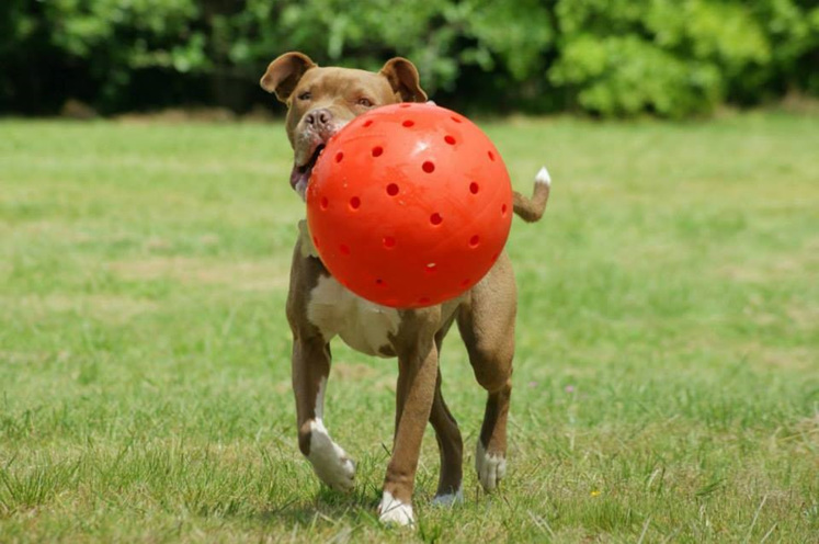 "Hazel the Pit Bull with her 10"" Big Daddy Unbreakoball"