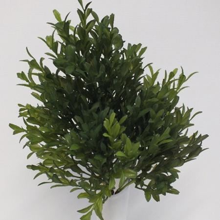 Hebe bush 4390