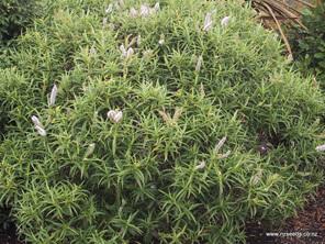 Hebe salicifolia
