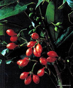 Hedycarya arborea