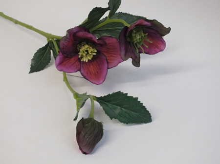 Hellebore Grape 4214