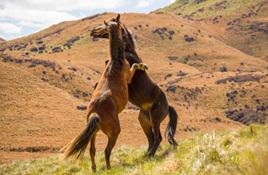 Help get a colt gelded