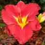 Hemerocallis Apple Annie