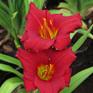 Hemerocallis Crimson Icon