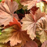 Heuchera villosa 'Bronze Beauty'