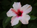 Hibiscus Mix