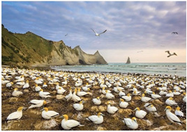 Holdson Explore NZ 100 Piece Jigsaw puzzle: Gannet Colony