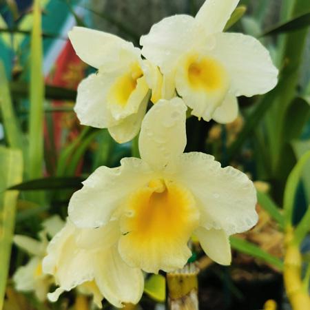 Hoshimusume Hyacinth