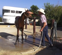 Hosing the horse for the first time