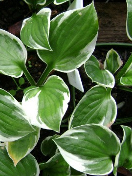 Hosta 'Patriot'