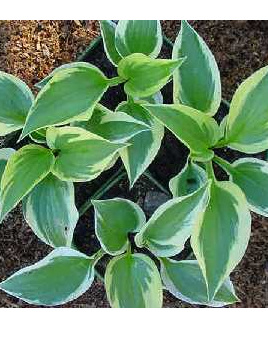 Hosta 'Twilight'