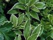 Hosta undulata albomarginata 'Thomas Hogg'
