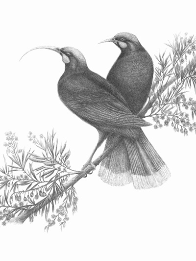 """Huia perched on a hinau tree"" Limited Edition Print"