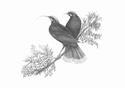 """Huia perched on a hinau tree"" Limited Edition Print"