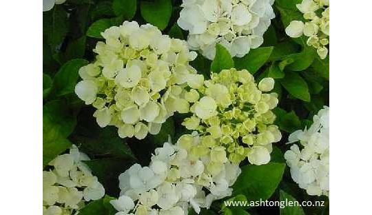 Hydragena Bridal Bouquet