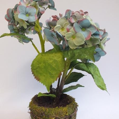 Hydrangea in a moss pot 1477