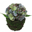 Hydrangea Potted 1490 1484