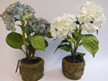 hydrangea two flower heads in moss pot