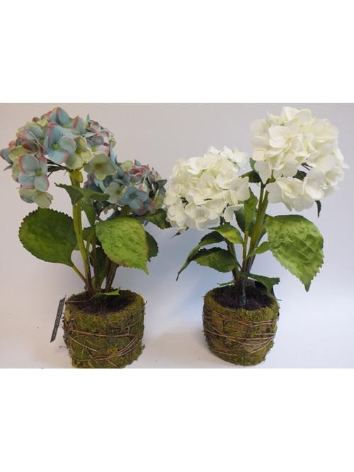 hydrangea two flower heads in moss pot