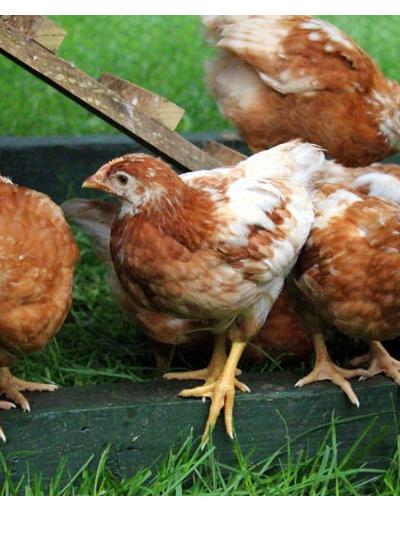 Hyline Brown Chickens ( 4 weeks old )