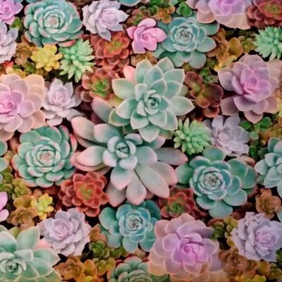 Imaginings - Succulents