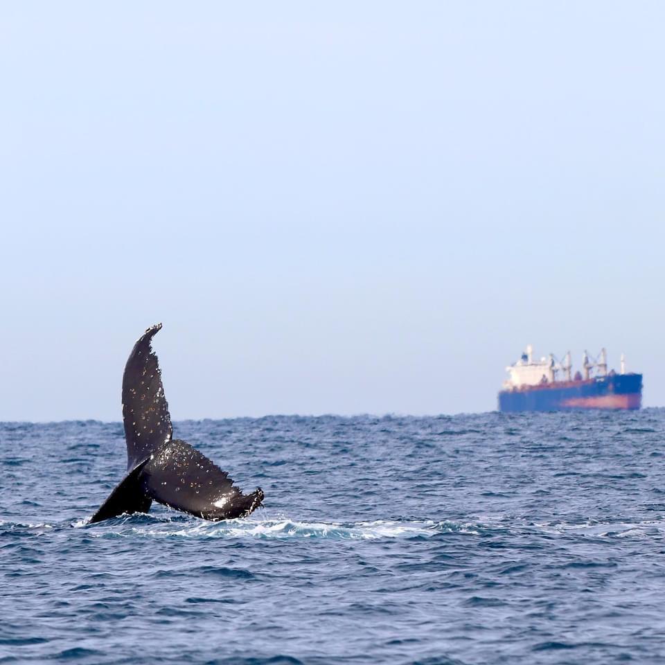 Newcastle Whale watching in full swing!