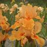 Iris bearded Apricot