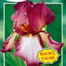 Iris bearded Crinoline