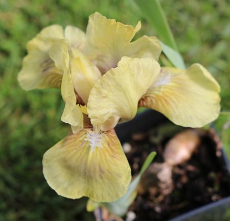 Iris Bearded Dwarf 'Amazon Princess'