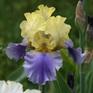 Iris bearded Edith Wolford