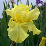 Iris bearded Harvest of Memories