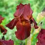 Iris bearded Red Zinger