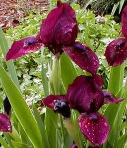 Iris Dwarf Bearded 'Cherry Garden'