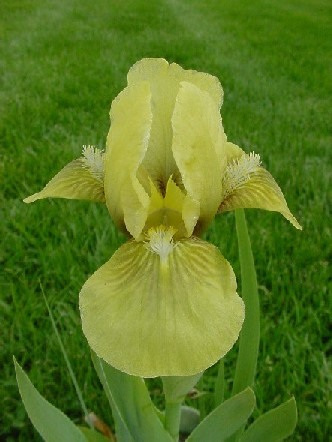Iris Dwarf Bearded 'Disco Dancer'