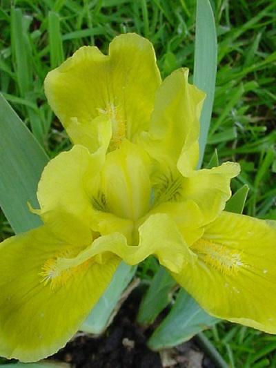 Iris Dwarf Bearded 'Laced Lemonade'