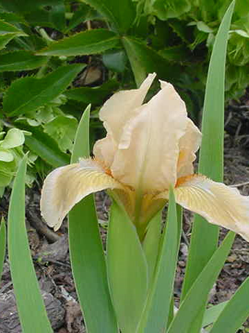 Iris Dwarf  Bearded 'Lenna M'