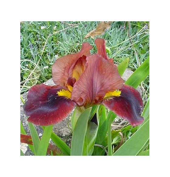 Iris Dwarf Bearded 'Little Buccaneer'