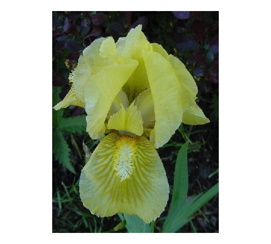 Iris Dwarf Bearded 'Olive Garden'
