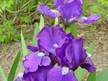 Iris Dwarf Bearded - Violet Blue