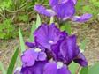 Iris Dwarf Bearded - Violet Blue