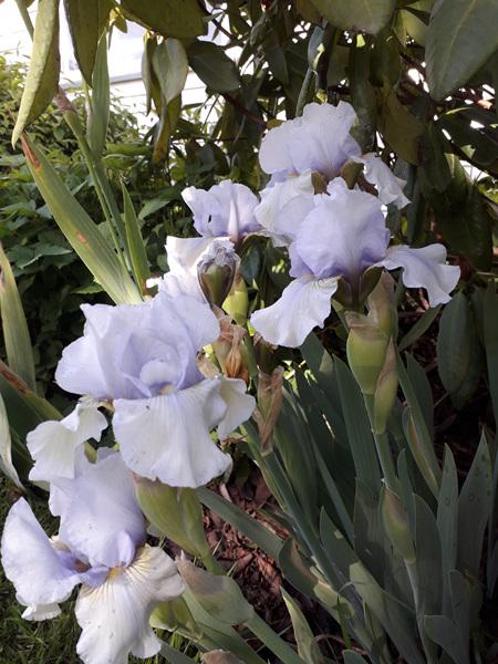 Iris Intermediate Bearded 'June Prom'
