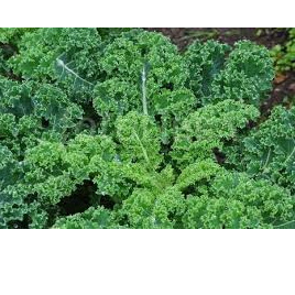 Kale Curly Green Certified Organic Approx 100g