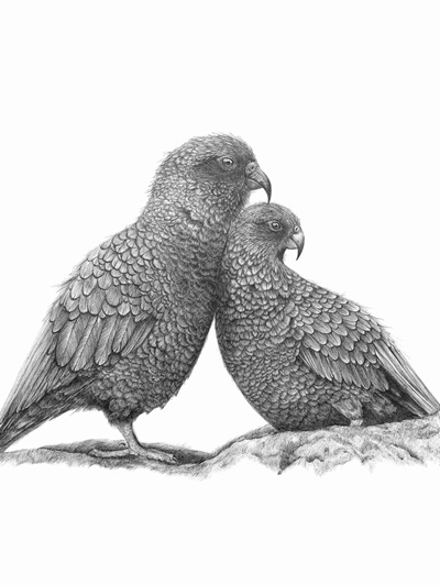 Kea in Love & Huias Limited Edition Prints - sizes A4-A2