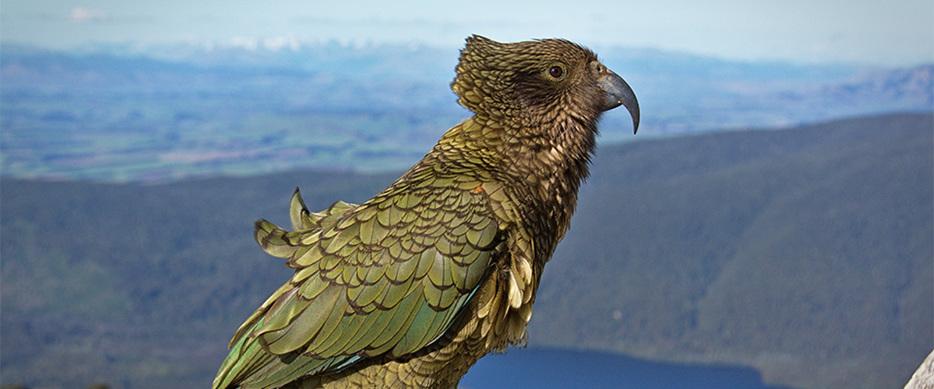 Kea (Native New Zealand Parrot)