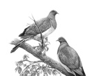 Kereru Couple
